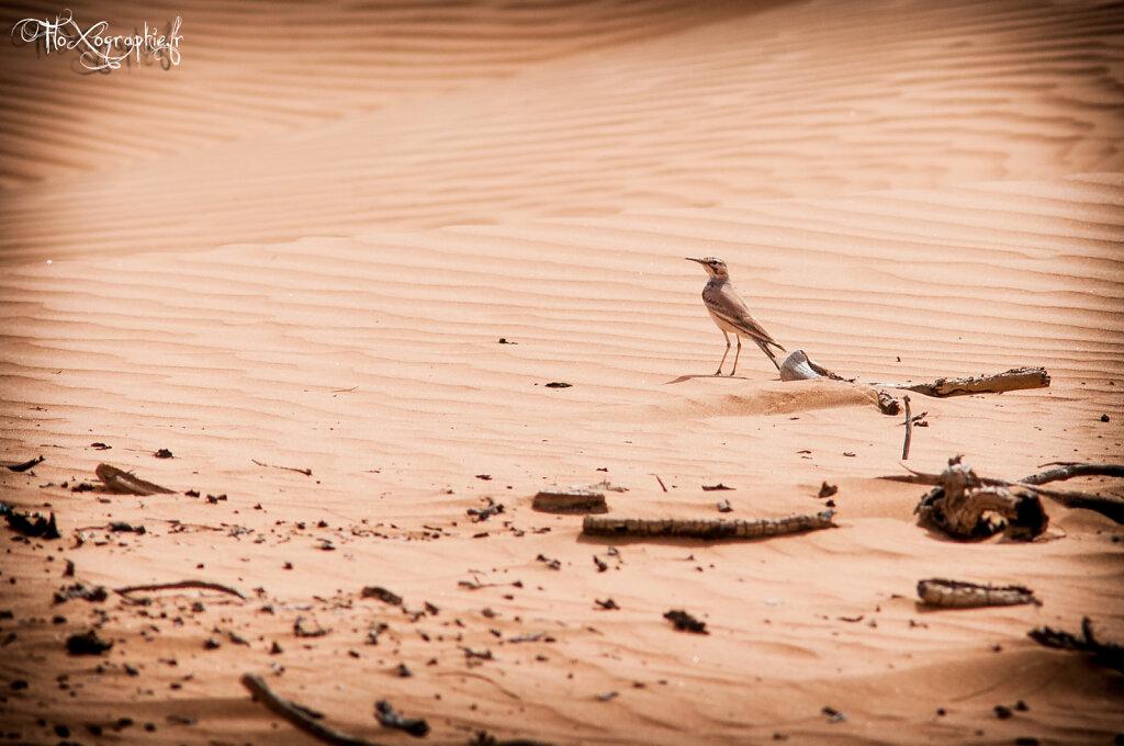 Oman - Wahiba Sands Bird 2