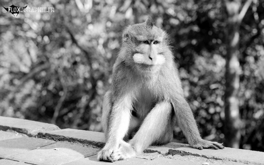 Macaque Crabier - 1