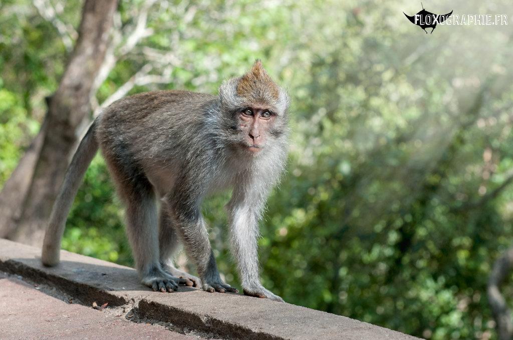 Macaque Crabier - 2