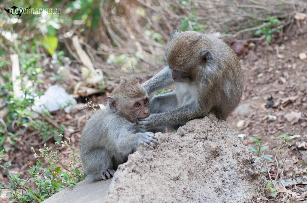 Macaque Crabier - 3