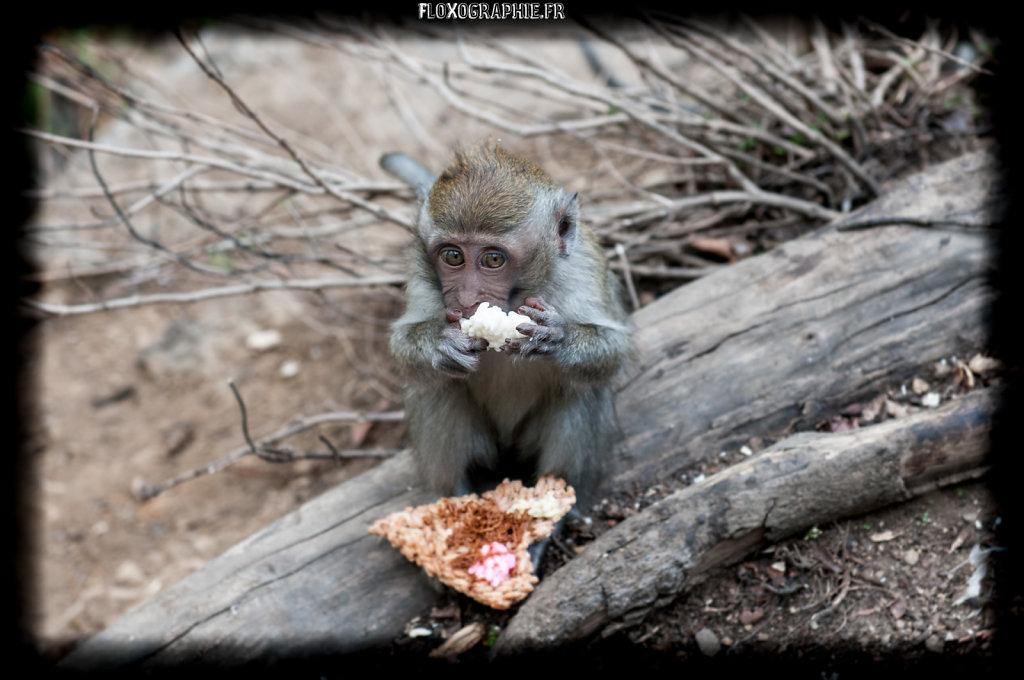 Macaque Crabier - 4