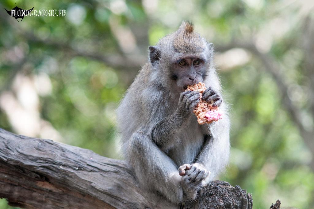 Macaque Crabier - 5