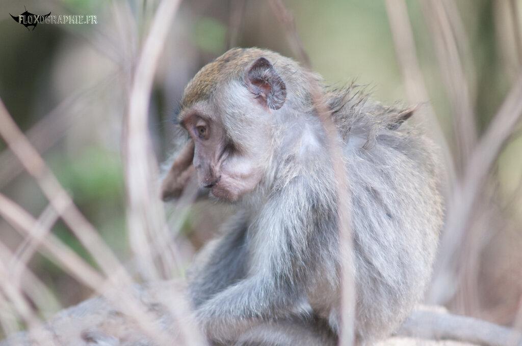 Macaque Crabier - 6