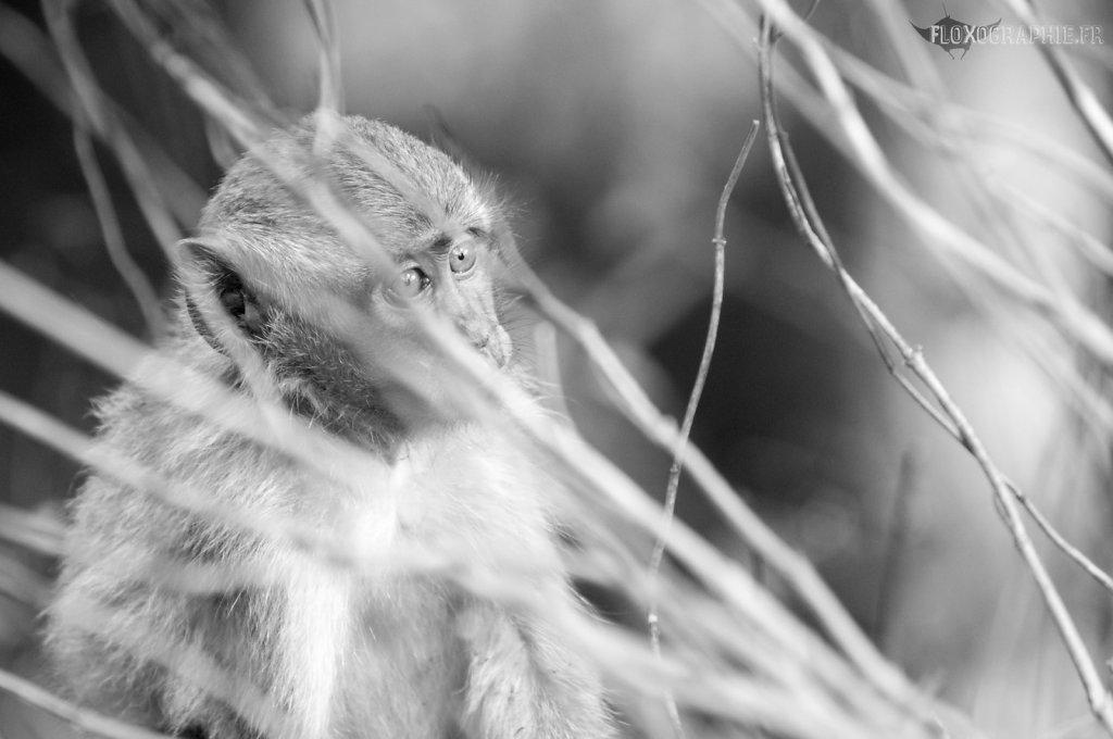 Macaque Crabier - 7