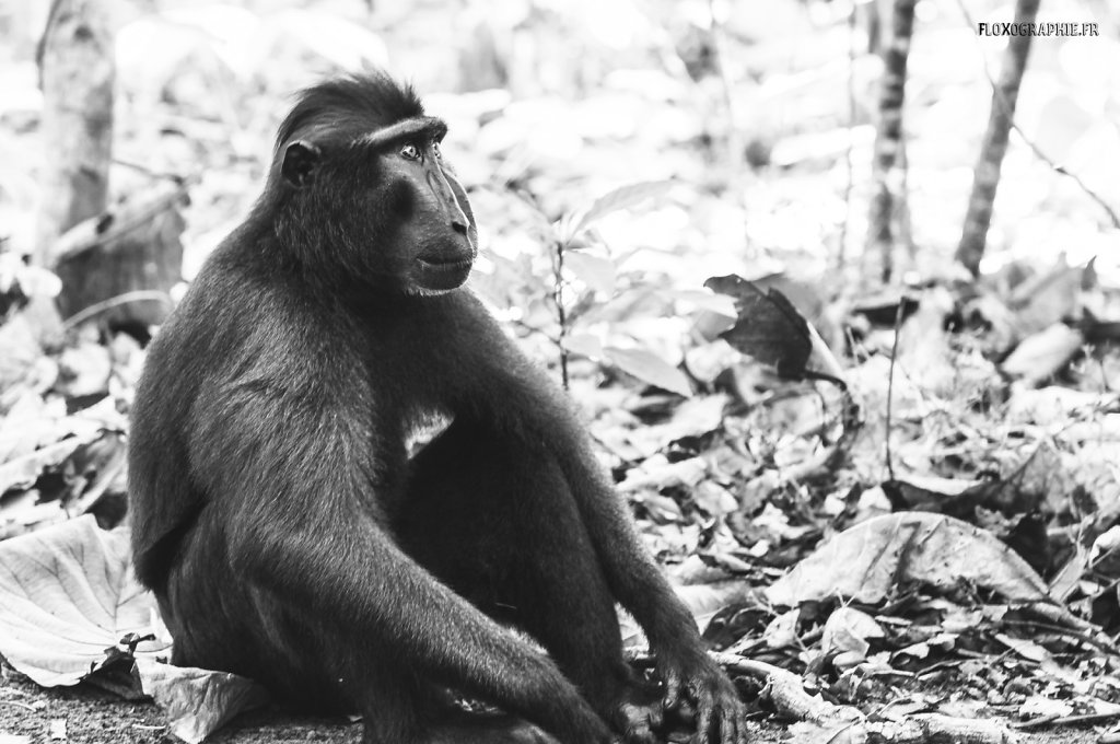 Macaque Noir - 1