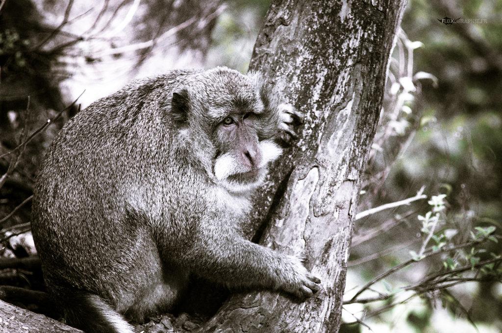 Macaque Crabier - 8